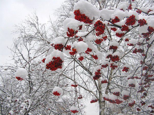 Рябина в снегу фото 553-913