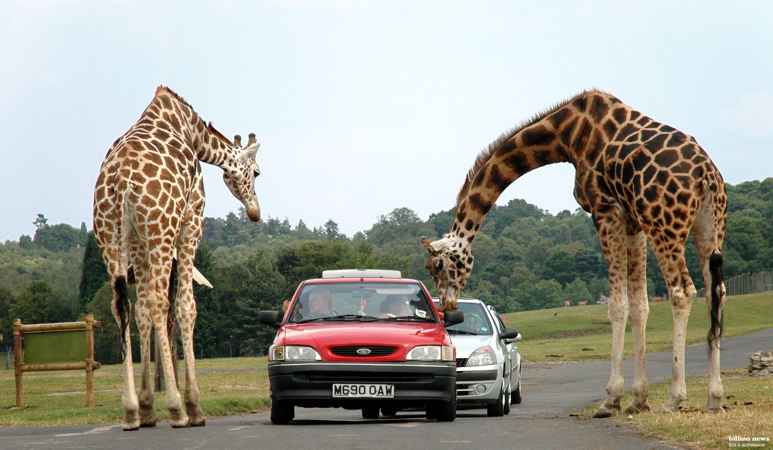 Интересные факты о жирафах