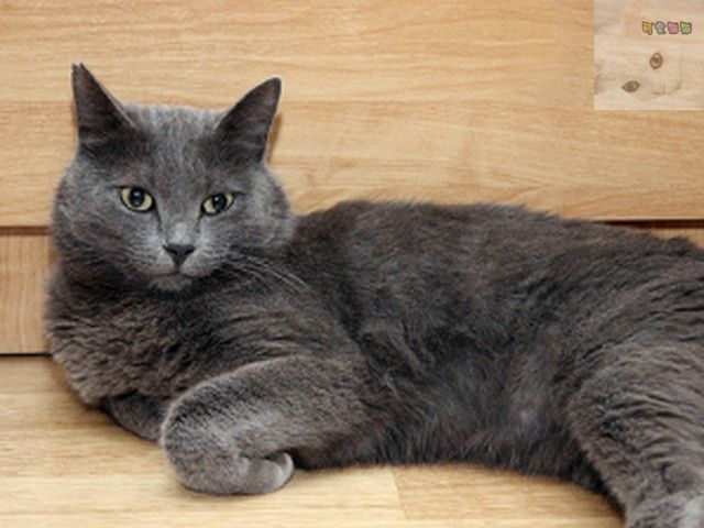 Коты и кошки серого окраса.  Майя.  Серебристо-серый окрас шерсти кошек...