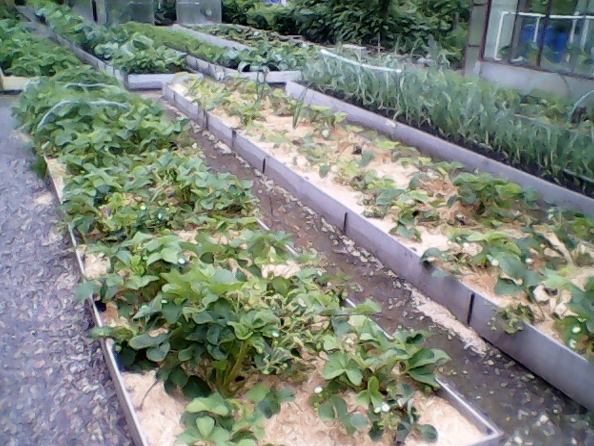 Что делать, чтобы между грядками не росла трава - DELFI 10