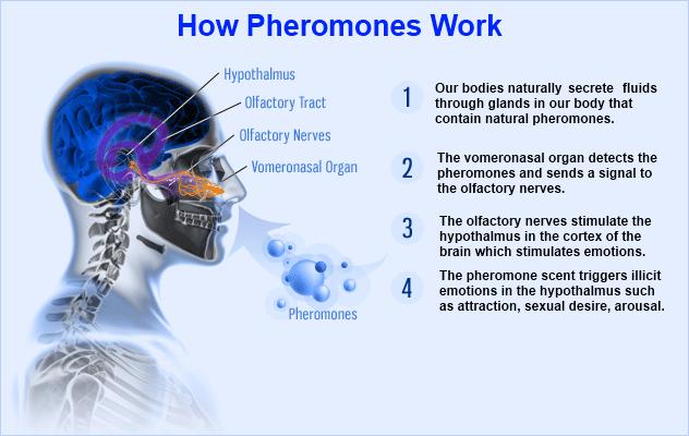 pheromone+chart.png