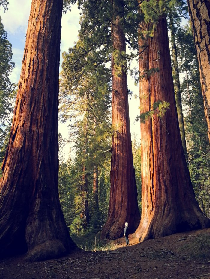 Деревья-великаны 1
