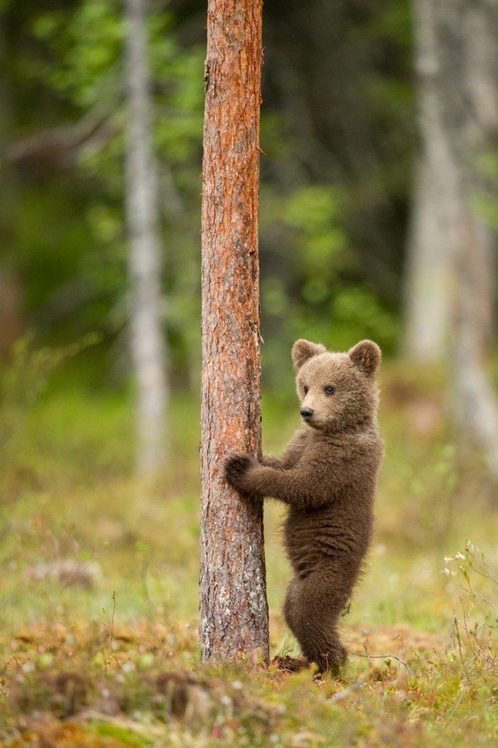 Медвежонок и ствол 1