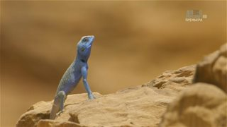 Animal Planet. ������� �������� ������� / Wildest Middle East [01] (2014) HDTV 1080i | VO