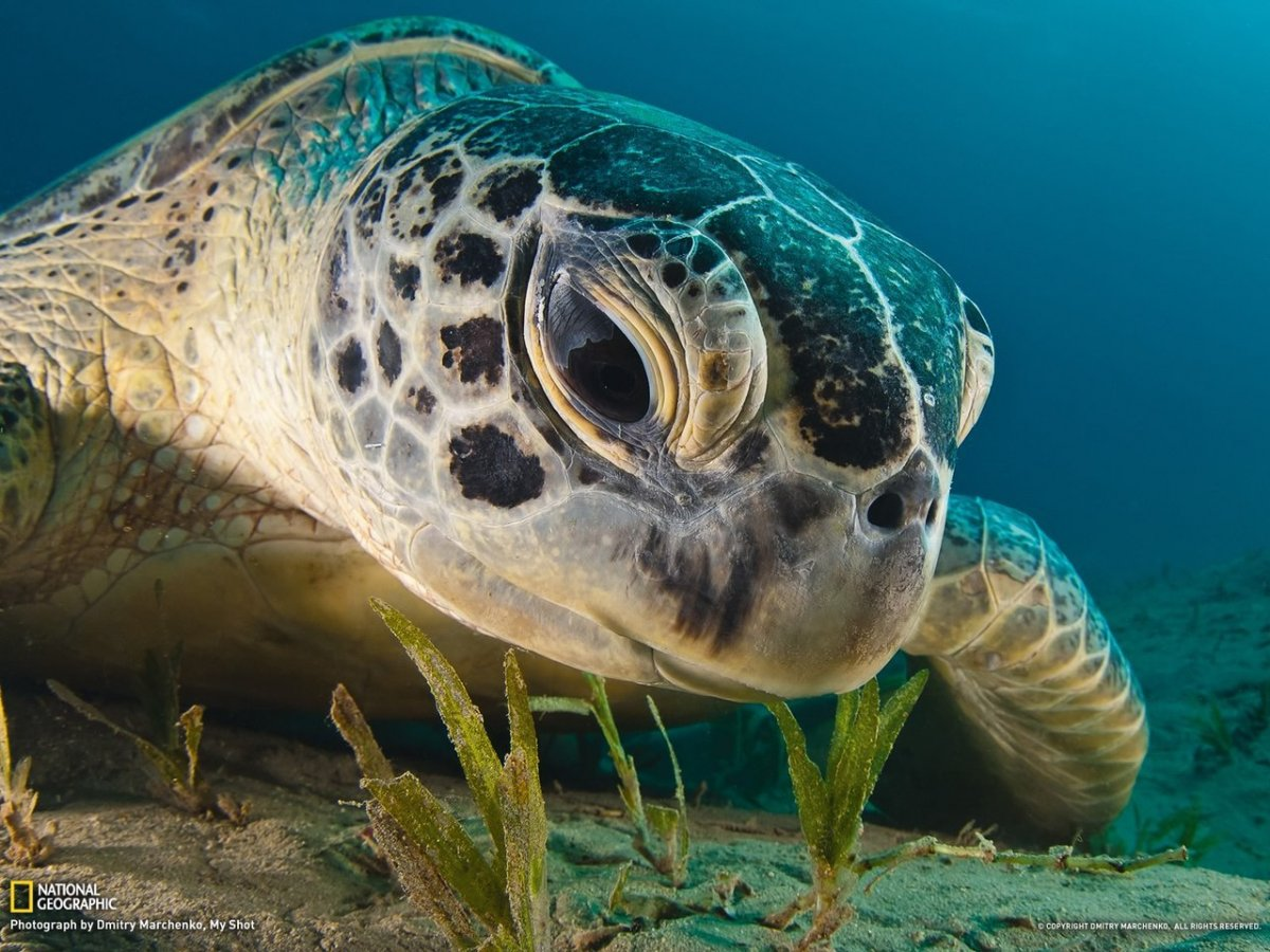 Морская черепаха 1