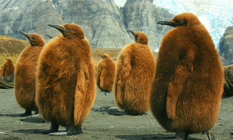 Толстые пингвины