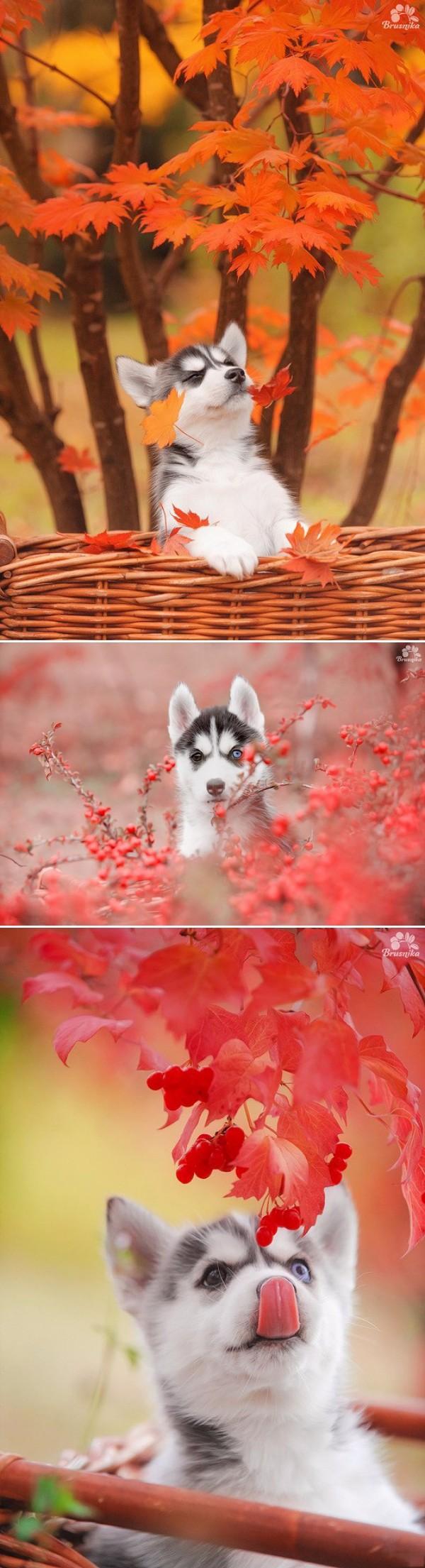 Осенний хаски