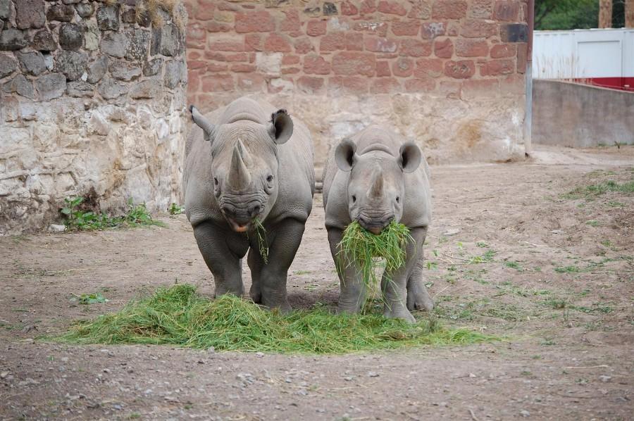 Завтрак носорогов