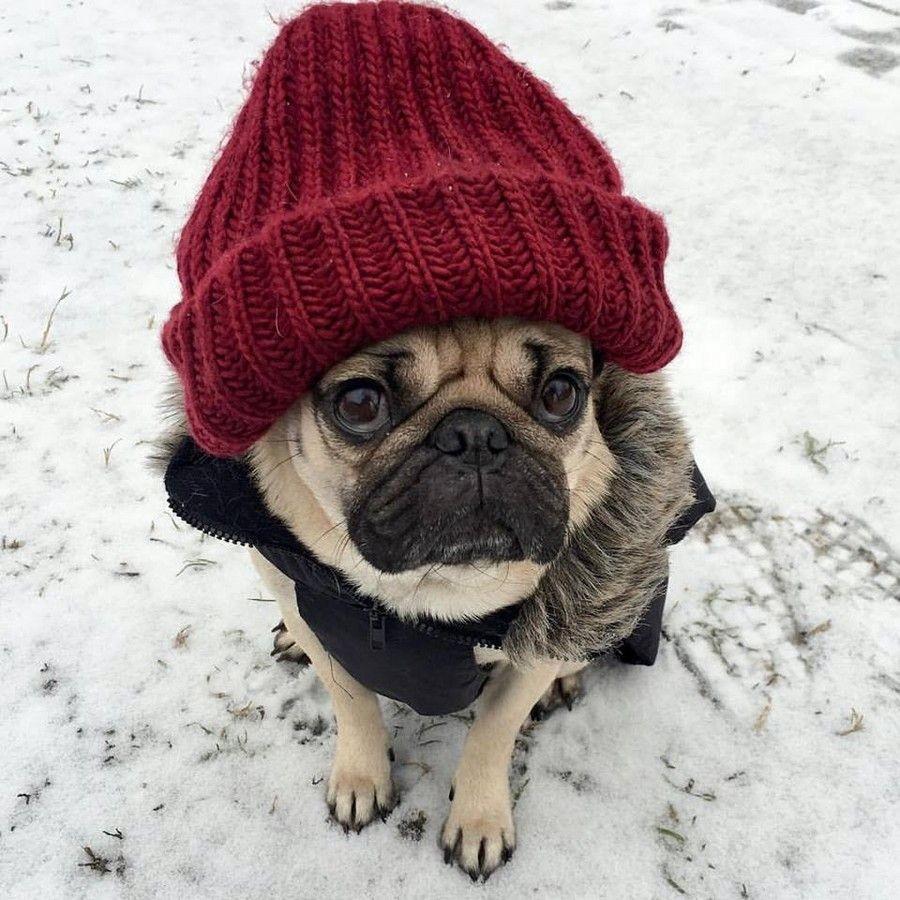 Мопс в шапке