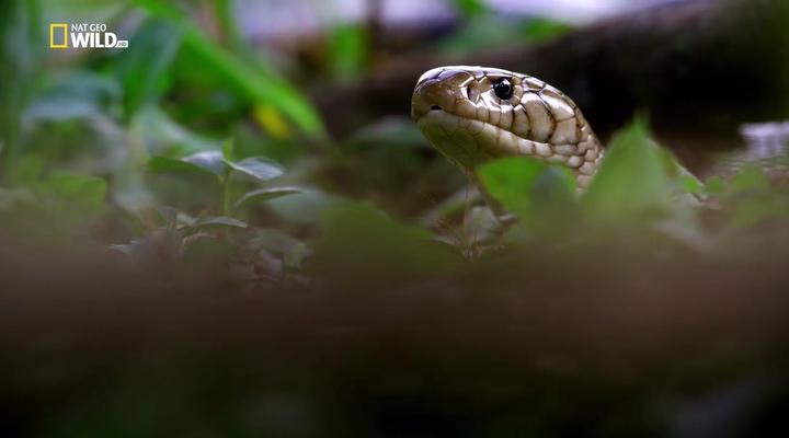 Nat Geo Wild: Африканская суперзмея / Africa's Super Snake (2017) HDTVRip
