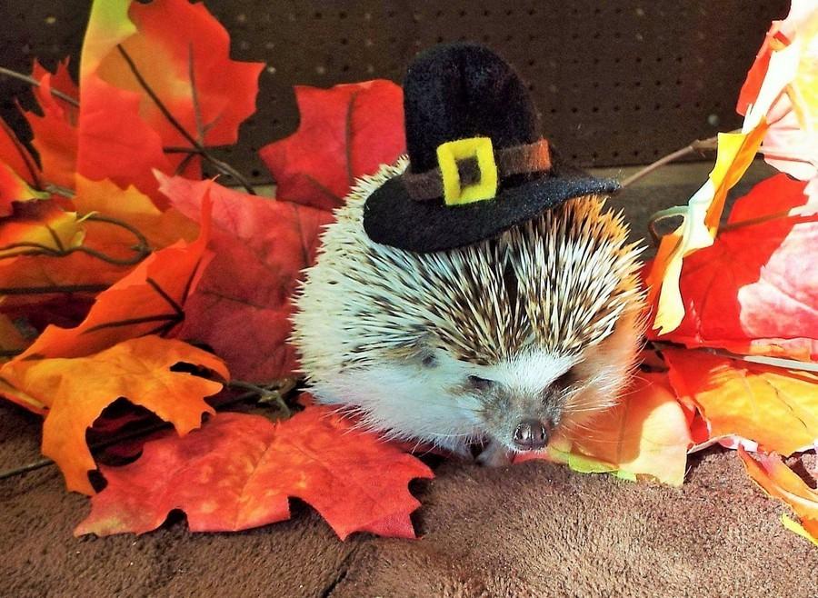 Просто ежик в шляпке на день благодарения