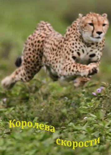 Королева скорости / Queen of the chase (Алан Миллер / Alan Miller, Джохем ван Рейс / Jochem van Rijs) [2016, Документальный, природа, фауна, HDTV 1080i] National Geographic