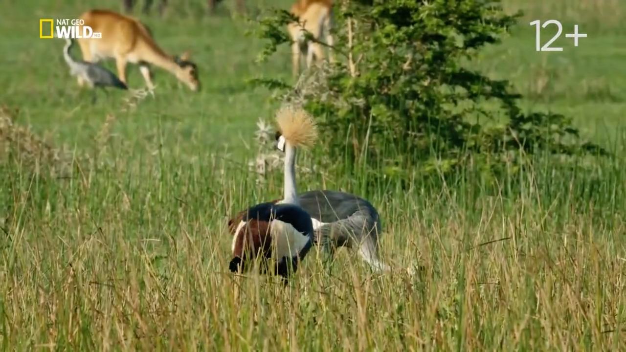 NGW: TerraMater / Дикая природа Уганды / Wild Uganda (2018/WEB-DLRip) 720р