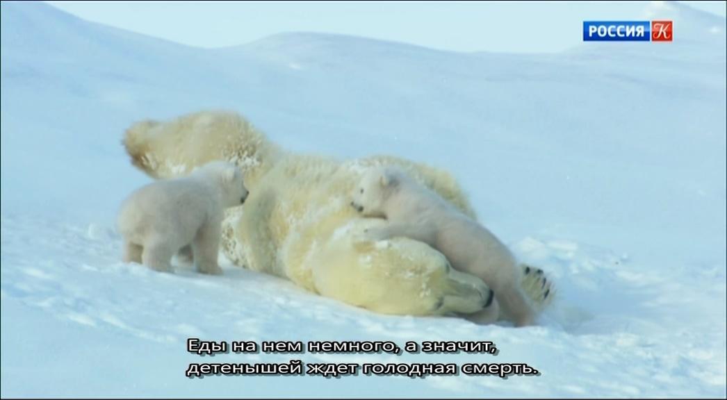 BBC. Снежные медведи / Snow Bears (2017/DVB), P1