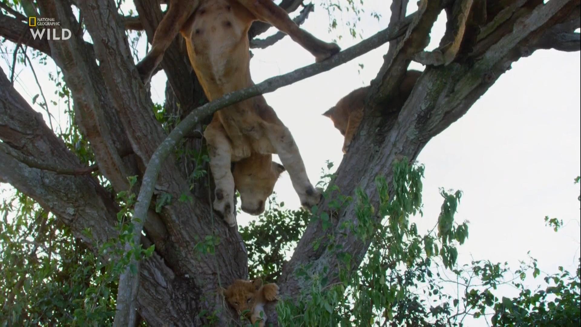 Львы на деревьях / Tree Climbing Lions (2018/HDTV) 1080i