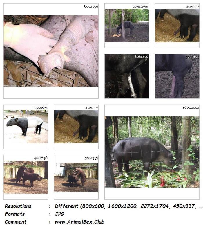 Sex tapir Tapir mating