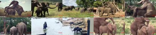 31bb207a80d0e4259faca6ba7ee49480 - Elephant Breeding How Do Elephant Mating Real Video Wild Animals Compilation