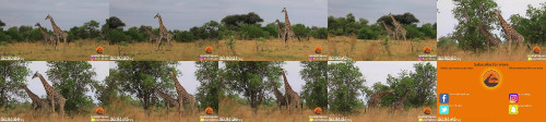 3f8db9c7c50e1f015cf101d101b3f722 - Giraffe Tries Hard To Mate With Female